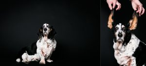Senior pet portrait photography of OLD DOG Oatis the basset hound by Vermont photographer Judd Lamphere at Reciprocity Studio in Burlington.
