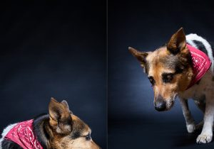 Senior pet portrait photography of OLD DOGS by Vermont photographer Judd Lamphere at Reciprocity Studio in Burlington.