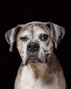 Senior pet portrait photography of OLD DOG Lulu the boxer by Vermont photographer Judd Lamphere at Reciprocity Studio in Burlington.