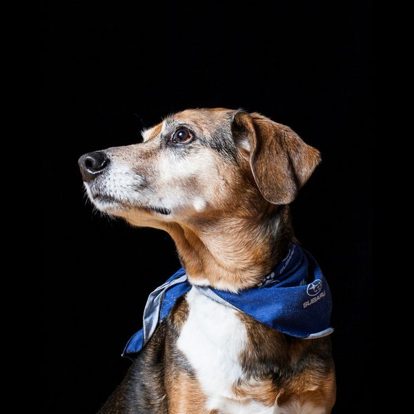Pet portrait of Miller the beagle mutt photographed by Vermont photographer Judd Lamphere at Reciprocity Studio in Burlington.