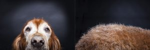 Maggie the senior Irish setter dog photographed by Vermont photographer Judd Lamphere at Reciprocity Studio in Burlington.